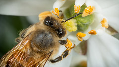 Bee Working  IMG_9954_5 (fredpiv) Tags: macro closeup canon bug bee abeille apis 70d canonmpe65 canonfrance canoneos70d canon70d naturalinsect insectesnaturels
