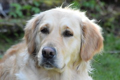 My angel ((fiona) thank you for your visit) Tags: dog cute love beautiful angel hope golden nikon friend belief retriever goldie faithful