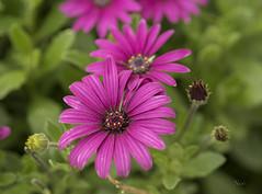 Flores (nO_VR) Tags: flowers flores blumen olympus omd flors loreak iekler  zuico  olympusomd olympusomdem5markii zuico45mm alzzuhur