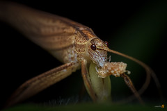 2016-04-22 Macro Katydid-7015--2 (The Bonding Tool) Tags: macro animal insect closeups katydid macrophotography insectphotography macroinsingapore