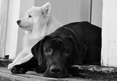 Black & White (FlorDeOro) Tags: light dogs animal nose photography blackwhite nikon dof nikkor d90 mijarajc