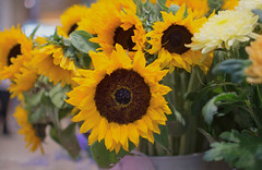 Soft Sunflowers (cuppyuppycake) Tags: flowers light yellow nikon soft indoor sunflowers d7200