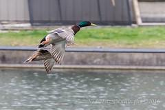 I'm Higher Than You (kevnkc2) Tags: park county duck spring pond nikon pennsylvania contemporary ducks sigma cumberland lightroom shippensburg d610 stdntsdoncooper 150600mm 150600f563