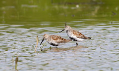 Dunlin by Steve Gifford (Steve Gifford - IN) Tags: bird nature river photo wildlife steve picture national photograph bottoms steven society dunlin refuge audubon gifford nwr ias haubstadt patoka oatsville
