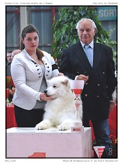 DSC_7129 (animalpicture.fr) Tags: de nikon canine exposition internationale centrale limoges d300 2016 samoyede samoyeda