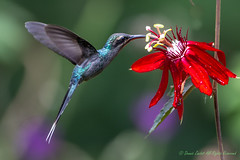 Green Hermit Hummingbird-female-0070 (Phaethornis guy).  Please view large. (dennis.zaebst) Tags: bird animal costarica hummingbird outdoor centralamerica naturesspirit naturethroughthelens greenhermithummingbird