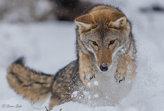 IX8A9185 (NaturesFan) Tags: coyote winter snow nature canon natur hunting ef70200mm snowdiving huntingcoyote 7dmarkii