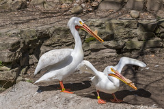 John Ball Zoo Pelicans-2016-4.jpg (scorpio71gr) Tags: bird pelicans animal outdoors zoo unitedstates pentax michigan grandrapids k3 johnballzoo da60250f4