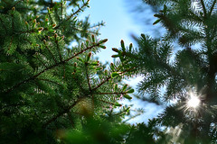 New growth (D Clay Wilson) Tags: sunset sky cloud lake plant tree water rock pine maple outdoor shoreline serene spruce conifer