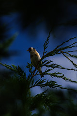 homecoming (Angelo Petrozza) Tags: sky bird three pentax goldfinch cielo albero birdwatching cardellino