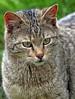 european wild cat Anholt JN6A8745 (j.a.kok) Tags: cat kat wildcat anholt wildekat europeanwildcat europesewoldekat
