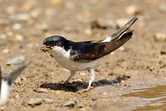 Common House Martin - Delichon urbicum (Roger Wasley) Tags: portugal birds europe european castromarim housemartin commonhousemartin delichonerbium