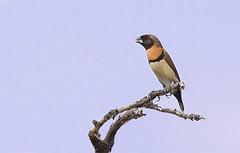 a chestnut-breasted mannikin (Fat Burns  (gone bush)) Tags: bird fauna finch australianbird smallbird barcaldine australianfauna chestnutbreastedmannikin lonchuracastaneothorax lagooncreek nikond750 sigma150600mmf563dgoshsmsports sigmatc140114xteleconverternik