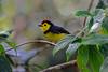 A Collared Whitestart (E P Rogers) Tags: bird eye yellow forest attractive crown endemic myioborustorquatus