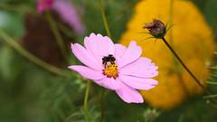 Bee 0141 (Thorbard) Tags: flowers summer flower bee bumblebee flowerbed nationaltrust warwickshire englanduk coughtoncourt summer2015