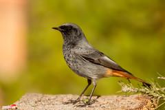 Colirojo tizn (www.jorgelazaro.es) Tags: naturaleza aves pajaros tizn colirojo
