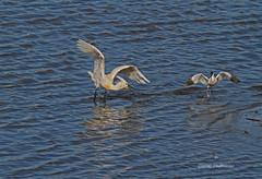 Dfense du territoire . (PACHA23) Tags: espagne guadalhorce zancuda wadingbird chasse spatule chassier