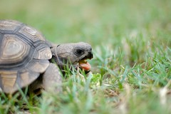 Santiago, Turtle (Tomas Giudici) Tags: pink naturaleza brown nature grass tongue cool dof turtle eating tortoise paz pasto lengua tortuga comiendo