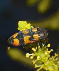 Mangrove orange black and red  jewel beetle Buprestidae Airlie Beach P1290987 (Steve & Alison1) Tags: red orange black beach beetle mangrove jewel airlie buprestidae excoecaria agallocha