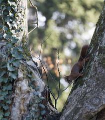 Hiver jardin des plantes Janvier 2016-37 (Frdric THIBAUD Photo) Tags: squirel cureuil