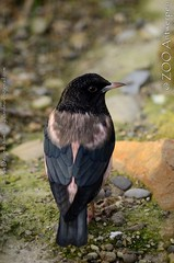 roze spreeuw - Pastor roseus - Rosy starling (MrTDiddy) Tags: bird zoo starling antwerp pastor antwerpen vogel zooantwerpen rosy roze spreeuw roseus