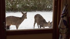 Wildlife from my kitchen window - Canon EOS 5D Mark III - Tamron 24-70mm (Beek2012) Tags: canon sweden stockholm wildlife sverige canoneos5dmarkiii tamronsp2470mmf28divcusd
