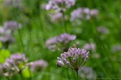 Thinking of summer (Sandra Király Pictures) Tags: flowers flower outdoor poland kraków cracow botanicalgarden ogródbotaniczny