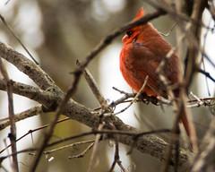 Northern Cardinal Twig (ralph miner) Tags: cardinal northerncardinal hawthornehill