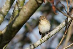 Chiffchaff (Steve Balcombe) Tags: uk bird somerset levels rspb greylake chiffchaff phylloscopus collybita