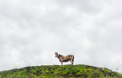 horse on a hill (pbo31) Tags: california winter sky horse brown white color green animal northerncalifornia one 1 nikon farm country hill january farmland pasture bayarea eastbay livermore alamedacounty graze 2016 boury pbo31 d810