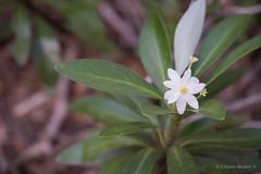 Flor del Canelo (Cristian Becker) Tags: dof nikkor canelo 80400mmf4556dvr d810 parquenacionalconguillo flordelcanelo