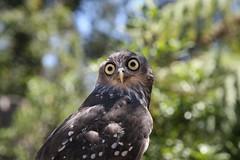 Barking Owl (mrdehoot) Tags: bird australia healesville healesvillesanctuary victoria owl birdofprey australianbirds barkingowl ninoxconnivens