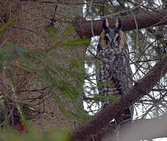 Long-eared Owl - Hibou moyen duc (DSC_3614-1-20160205) (Michel Sansfacon) Tags: longearedowl hiboumoyenduc nikond7000 sigma150600mmf563dgoshsmsports