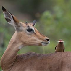 Symbiosis (Niquinho) Tags: impala erythrorhynchus redbilledoxpecker buphaguserythrorhynchus buphagus