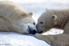 Polar Bear - Zoo Munchen Hellabrunn January 2016 14 (reineckefoto) Tags: schnee winter mnchen polarbear eisbr thalkirchen tierfotografie zoohellabrunn ralfreinecke zoohellabrunnmnchen