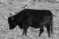 Synergie durch Putzervogel - 018-2016_Web (berni.radke) Tags: bird rind magpie synergy vogel mnsterland stever synergie elster olfen heckrind heckcattle steveraue putzervogel