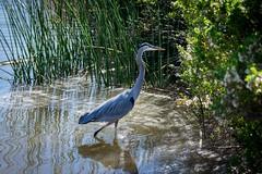 SanJoaquinWildlife-7 (rskim119) Tags: blue lake bird heron nature water animal landscape pond nikon san wildlife great reserve joaquin marsh tamron preserve sanctuary irvine shorebird 70300 irwd d3300
