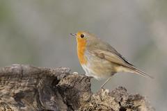 _NAT3941 (VictorD7000) Tags: espaa nature fauna libertad erithacusrubecula aves alicante escalona petirrojoeuropeo nikond7200 sigma150600sport sierradeescalona