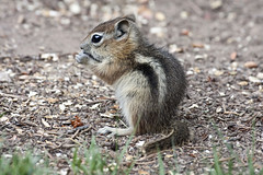 Golden-mantled Ground Squirrel (Spermophilus lateralis); Santa Fe National Forest, NM, Thompson Ridge [Lou Feltz] (deserttoad) Tags: mountain newmexico nature animal fauna rodent squirrel nationalforest behavior groundsquirrel mamml
