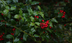 Winter's Berries (vbd) Tags: red plant green berries pentax connecticut newengland ct holly k3 trumbull 2016 neighborhoodwalk manualexposure vbd smcpentaxda55300mmf458ed winter2016