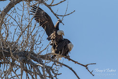 Bald Eagles copulating sequence - 4 of 28