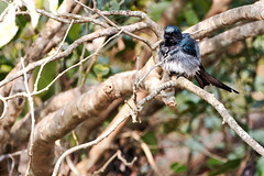 KV4A8783 White-bellied Drongo - Hvidbuget Drongo - Dicrurus caerulescens - Kerala - Indien (Thanks for visit Soes' photo from the lovely natur) Tags: india birds kerala indien fugle drongos chinnar soleigsterschrder whitebellieddrongohvidbugetdrongodicruruscaerulescens