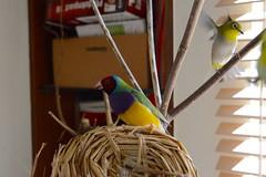 DSC_2745 (Jenny Yang) Tags: pet bird lady finch 櫻花 gouldian 小綠 綠繡眼 小呆 胡錦鳥 小蕃茄