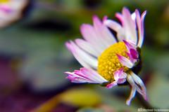 Spring awakening (Michael Eickelmann) Tags: flower nature up lens spring close blossom bokeh pov daisy bloom awake makro
