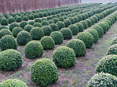 20160123-135623LC (Luc Coekaerts from Tessenderlo) Tags: public ball bush flora belgium box nopeople sphere creativecommons repetition species bel boxwood buxus vlaanderen laakdal buxaceae noboddy cc0 coeluc 20160123135623lc demosvinne w20160123averbodeblauberg gpxaverbodeblaubergkp123km fromaverbodetoblauberg