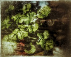 Outside / Inside Geranium Leaves (Flickr Goot) Tags: light selfportrait plant reflection glass project outdoor samsung indoor galaxy 365 february geranium available selfie s6 2016 project365