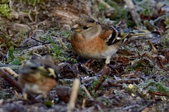 Brambling. (stonefaction) Tags: nature birds scotland angus wildlife loch brambling kinnordy