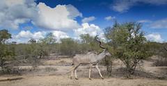 Kudu (Sheldrickfalls) Tags: southafrica krugernationalpark mpumalanga krugerpark kruger kudu skukuza greaterkudu lowersabie h41 sabieriver