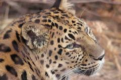 Amur Leopard (kylennadine) Tags: wild cats nature saint animal animals cat photography zoo louis big feline wildlife leopard felines zoos amur leopards