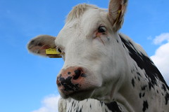 Delta Vaucluse Plonny (excellentzebu1050) Tags: animal closeup cow cattle outdoor farm animalportraits dairycows coth5
